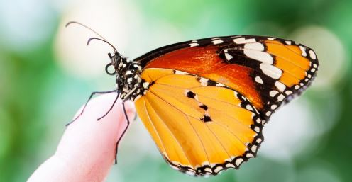 butterfly nomad image